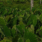 A taro plantation. 